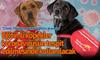 Köpeklere 'Covid-19 kokusu alma' eğitimi veriliyor