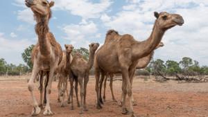Avustralya'da hayvan katliamı.. Ne ilk ne de son!